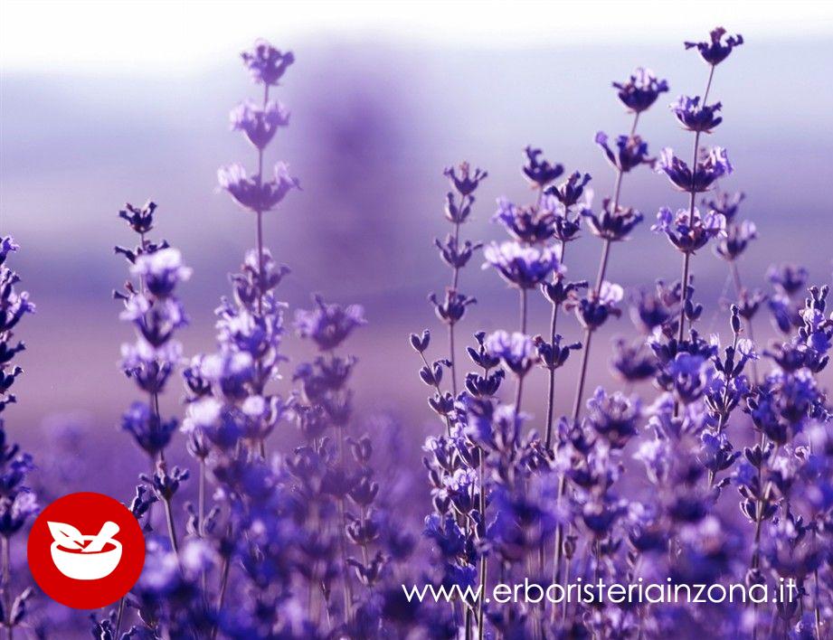 La Lavanda proprietà delle spighe viola blu