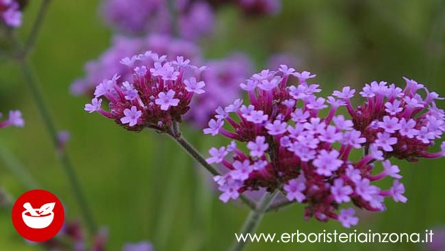 Verbena pianta erbacea dalle mille proprietà benefiche