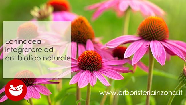 Echinacea integratore ed antibiotico naturale